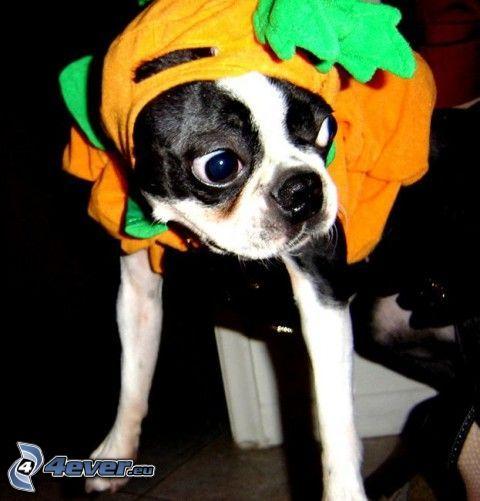 dressed dog, eyes