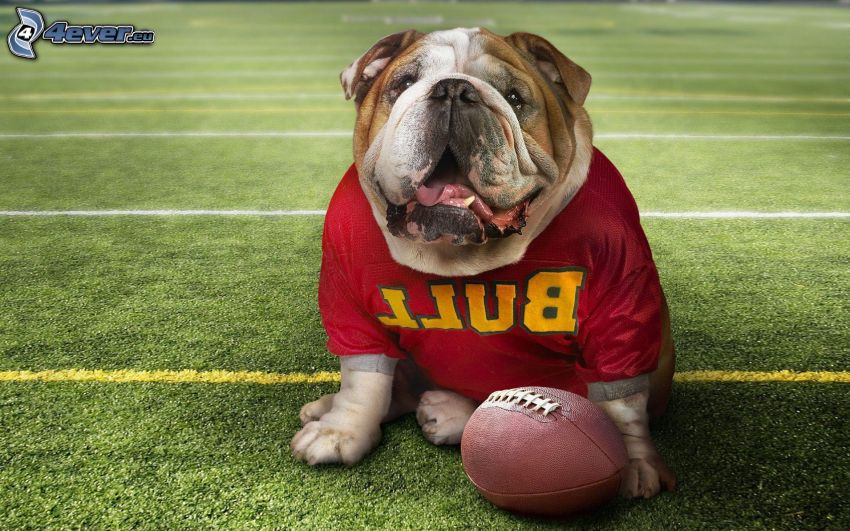 English bulldog, hockey sweater, ball, football field