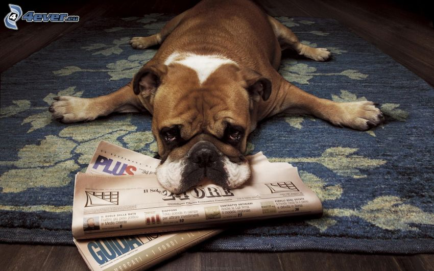 English bulldog, sad dog, newspapers, carpet
