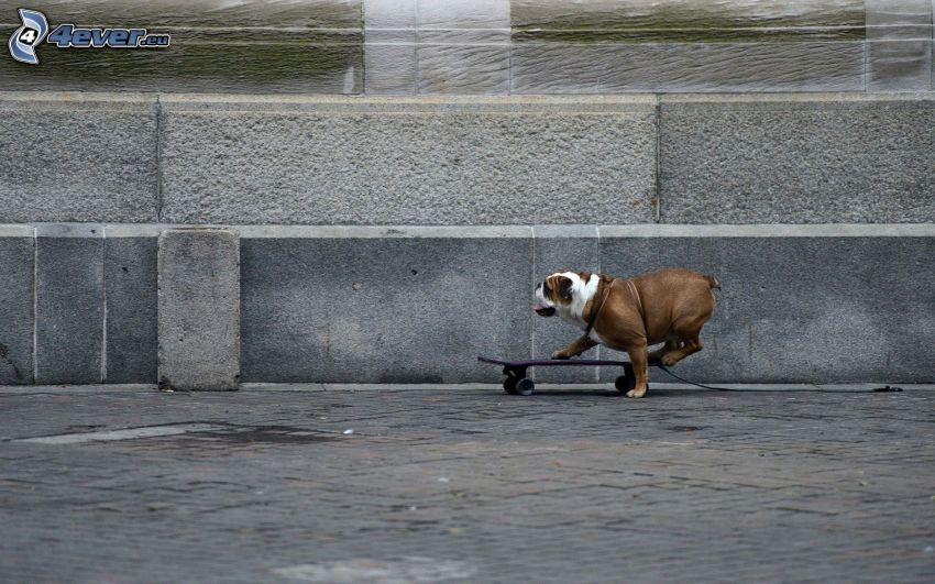 English bulldog, skateboard