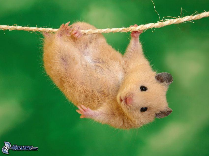 hamster, rope