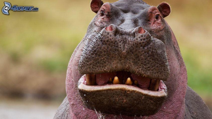 hippo, grimacing
