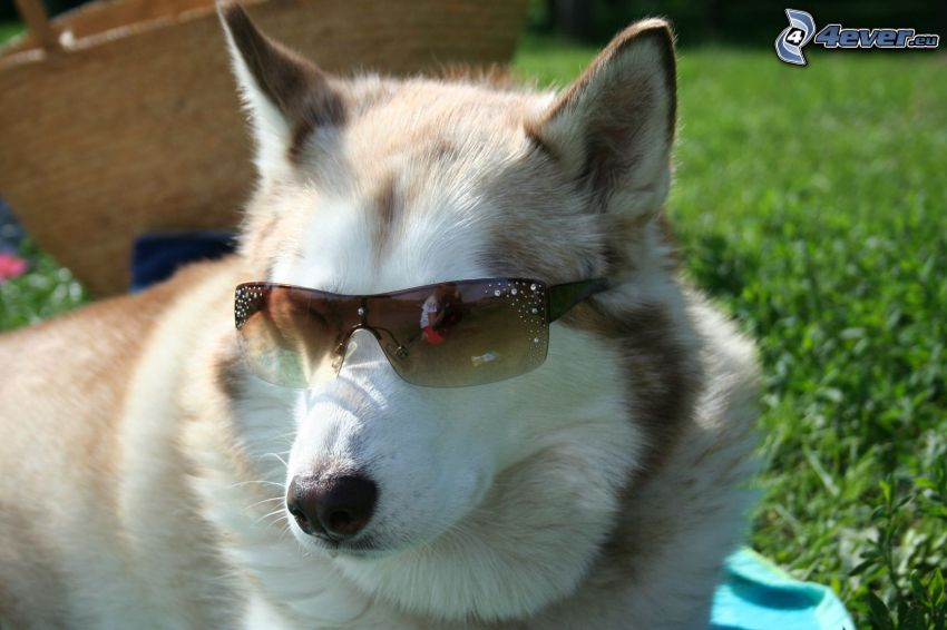 6fe789bd70c Husky with sunglasses, grass