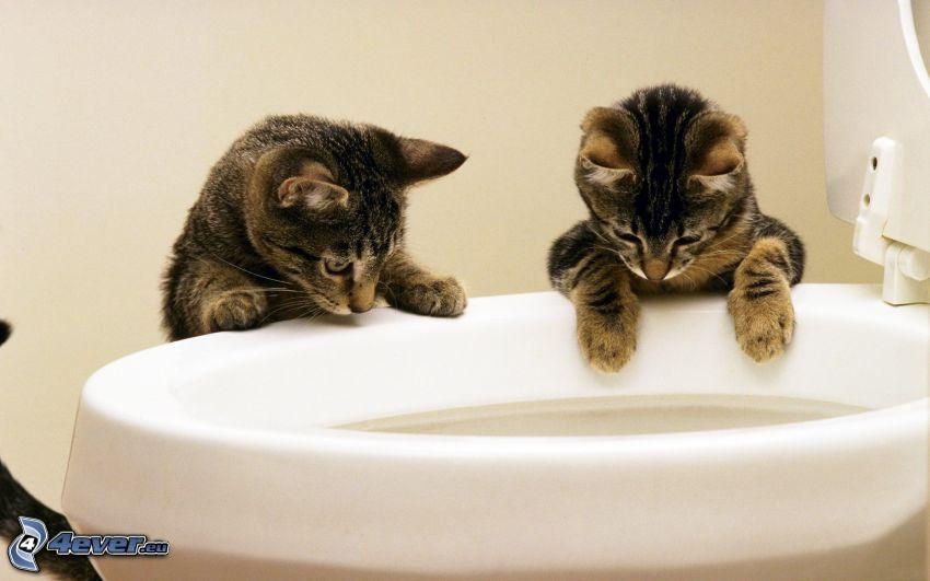 kittens, toilet