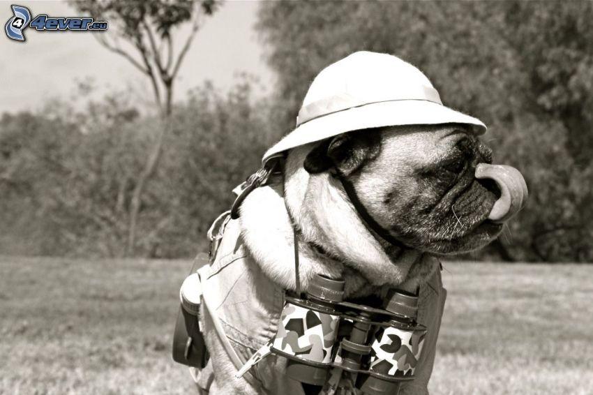 pug, hat, binoculars, black and white