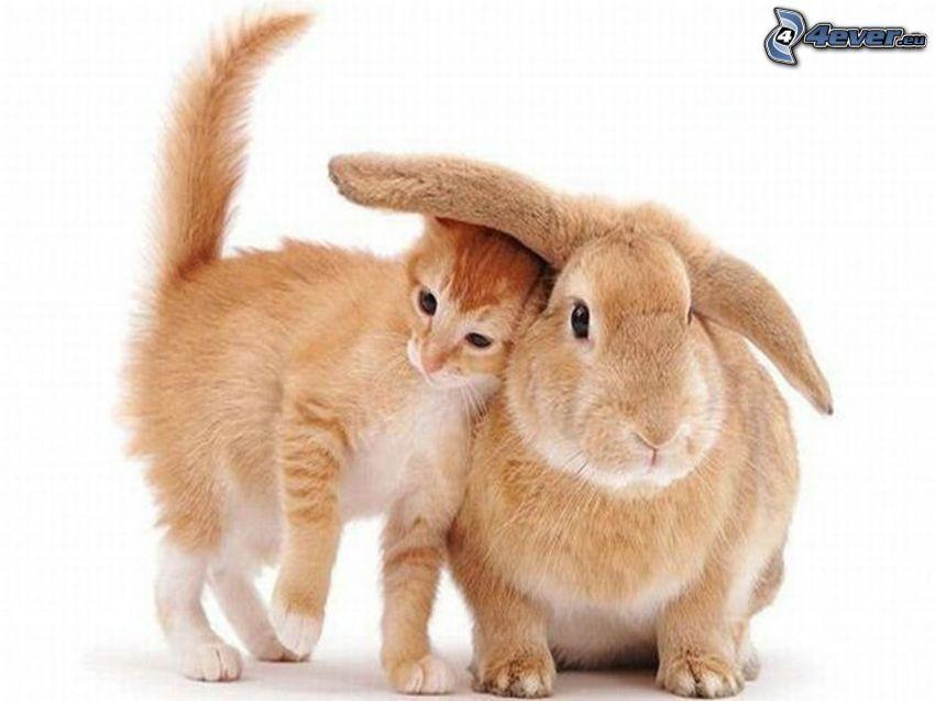 rabbit, small ginger kitten