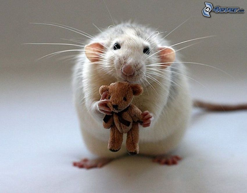 rat, teddy bear