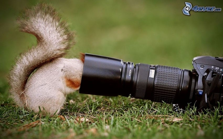squirrel, camera, grass