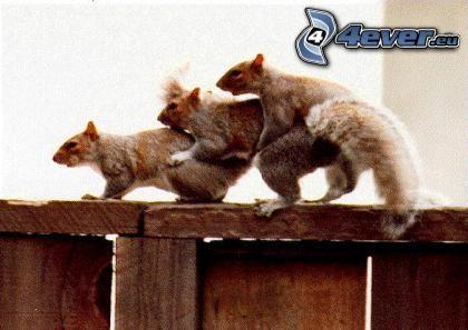 squirrels, trio