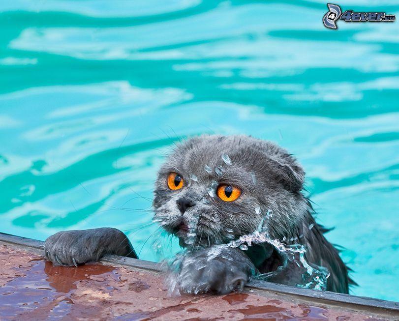 wet cat, british shorthair, pool, water