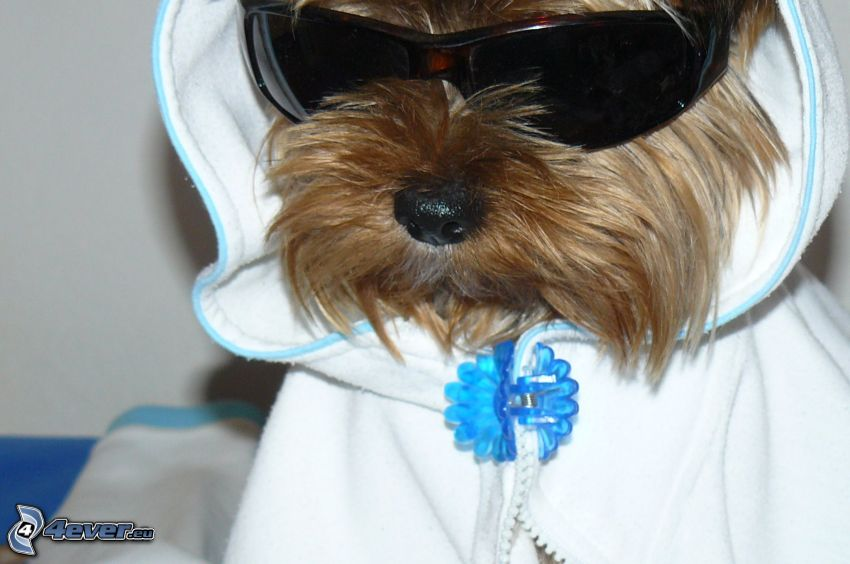 Yorkshire Terrier, rapper, dog in glasses