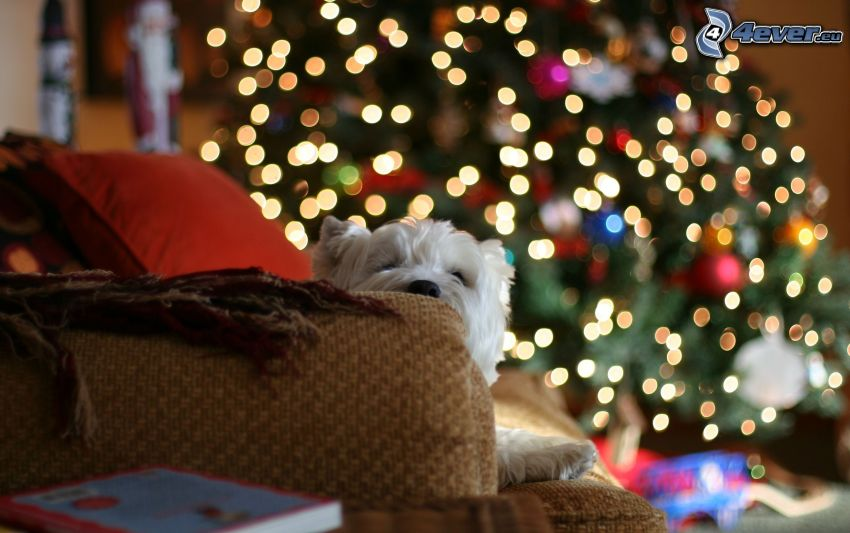 white schnauzer, christmas tree, couch