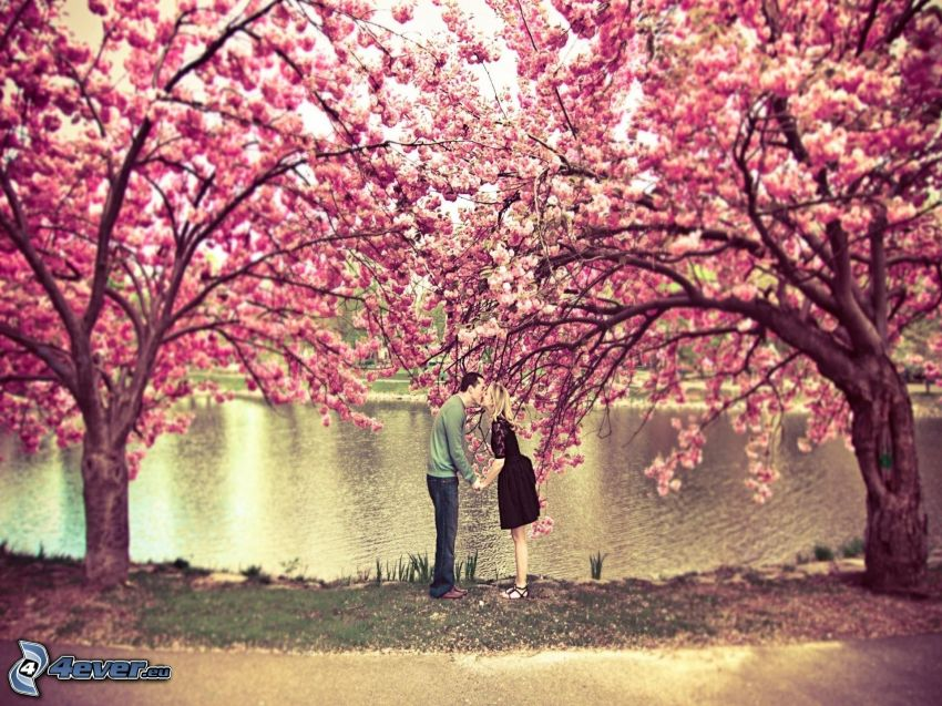couple in the park, flowering cherry, kiss, park with a lake