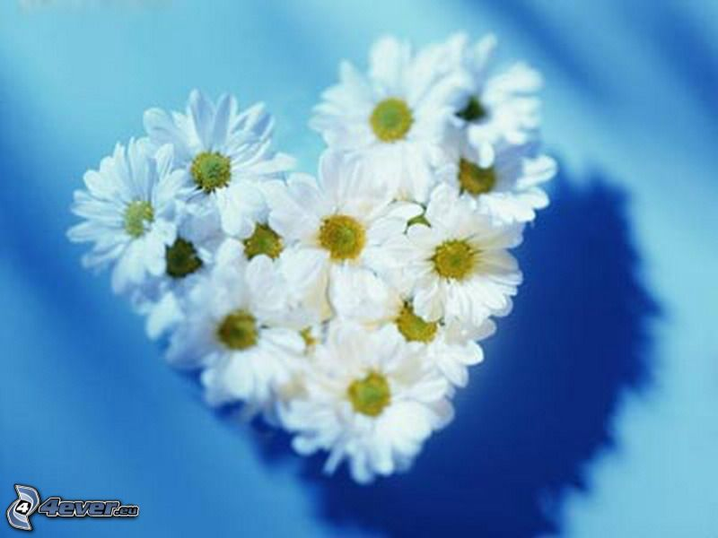 heart of the flowers, daisies