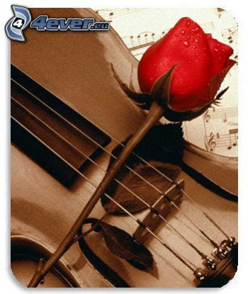 red rose, violin