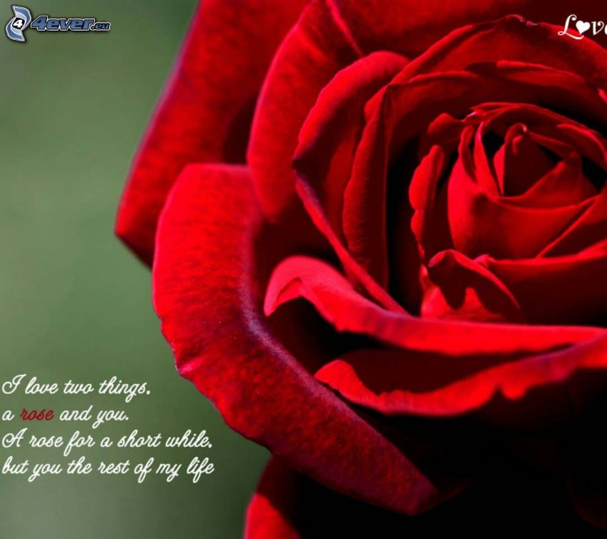 red rose, text about love