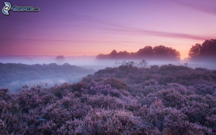 after sunset, purple flowers, ground fog