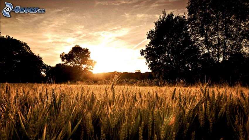 after sunset, wheat field, silhouettes of the trees