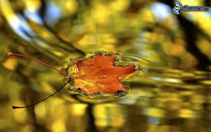 autumn leaf, water surface