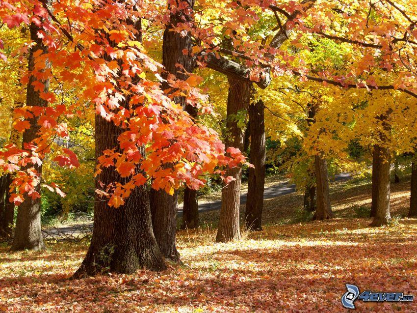 autumn trees, autumn leaves