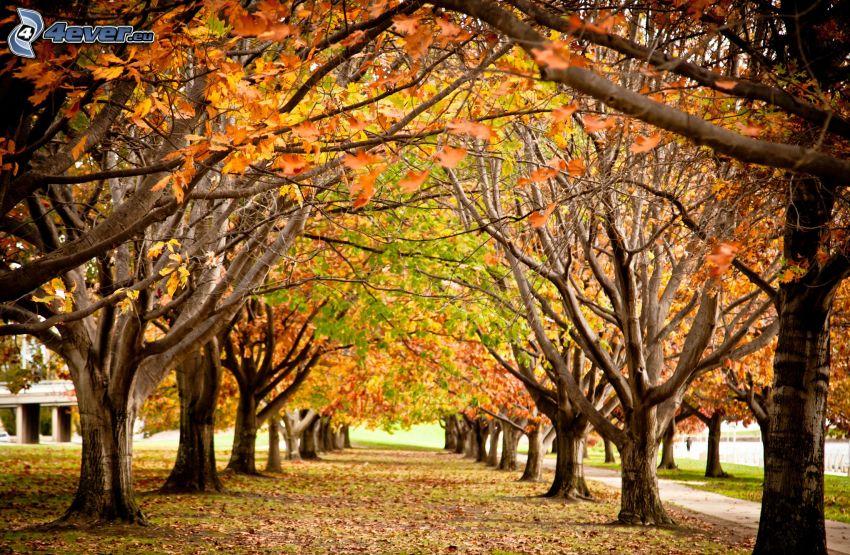 avenue of trees, autumn leaves