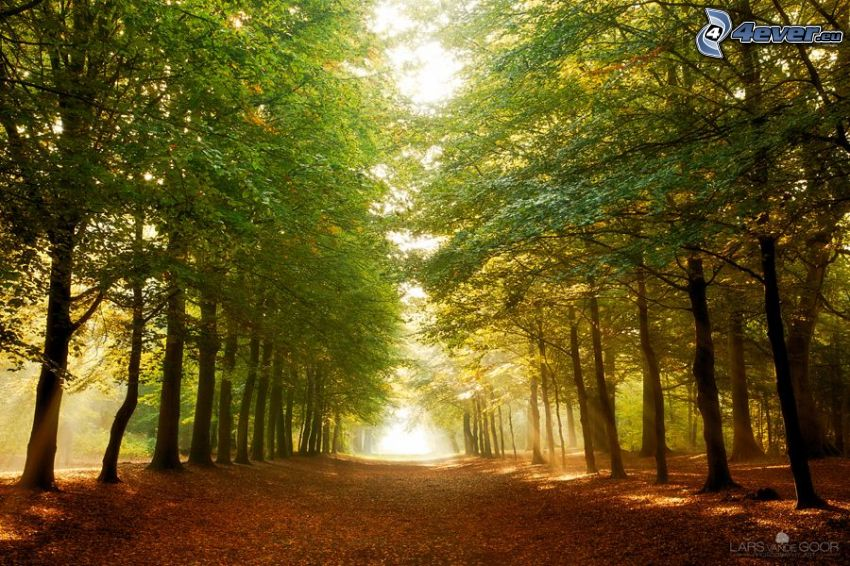avenue of trees, forest, leaves
