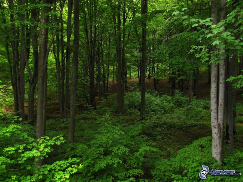 beech forest, greenery