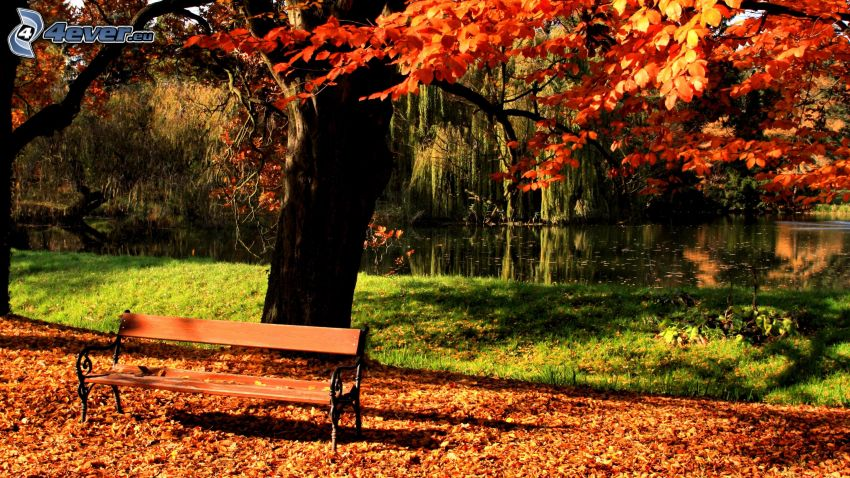 bench in the park, colored tree, fallen leaves, lake