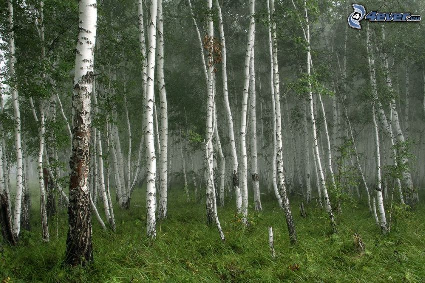 birch forest, grass, fog