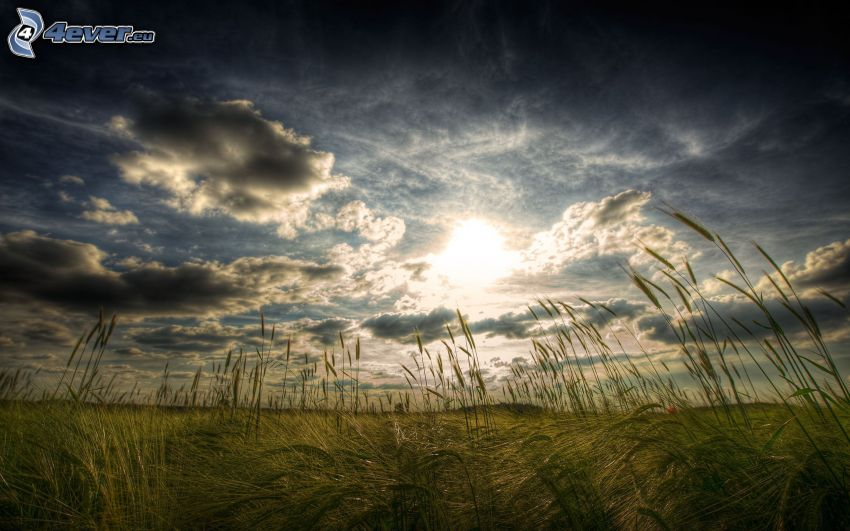 blades of grass at sunset, field, sun behind the clouds