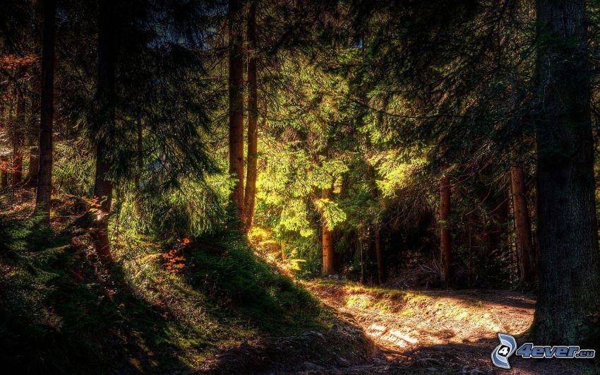 coniferous forest, dark forest
