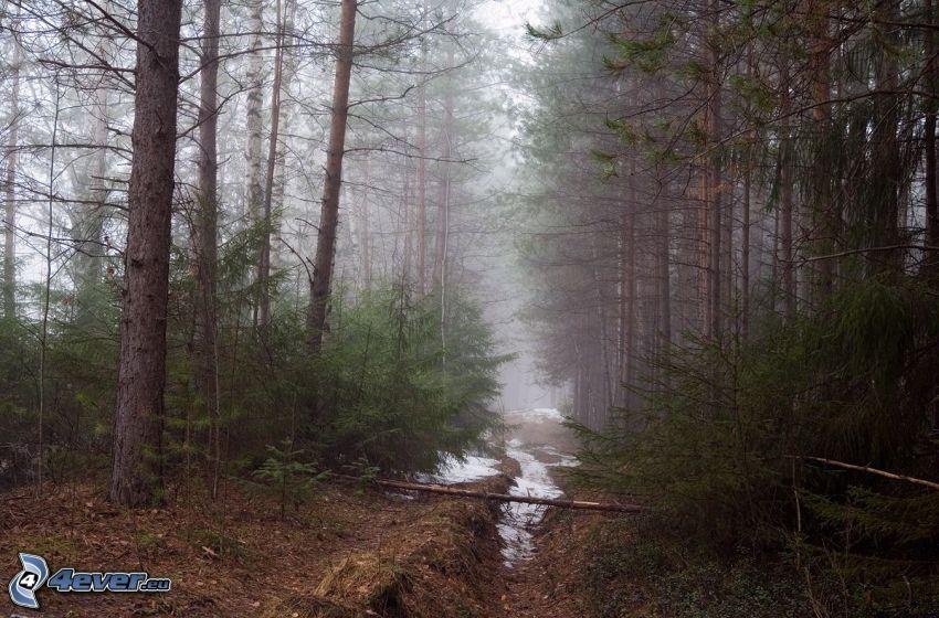 coniferous forest, path, fog