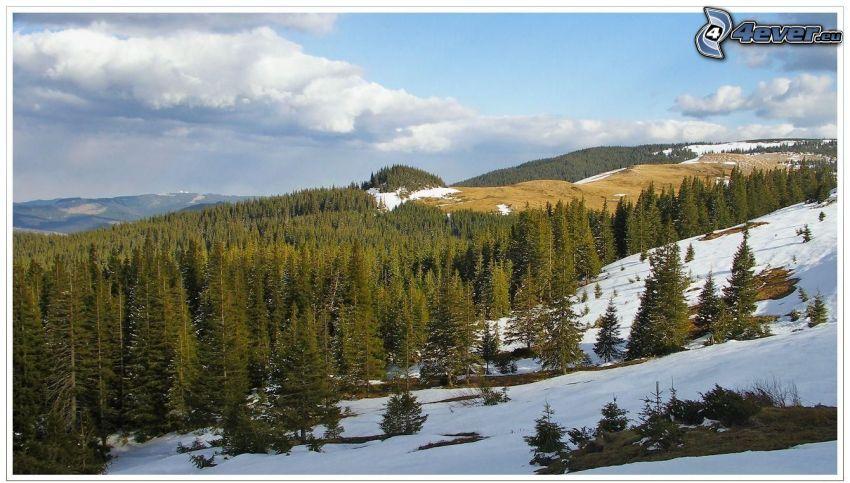 coniferous forest, snow