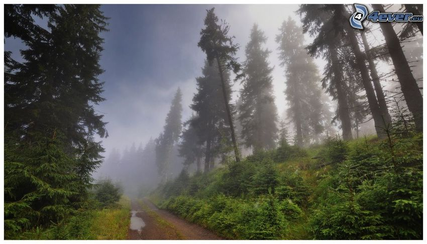 coniferous trees, forest road, fog