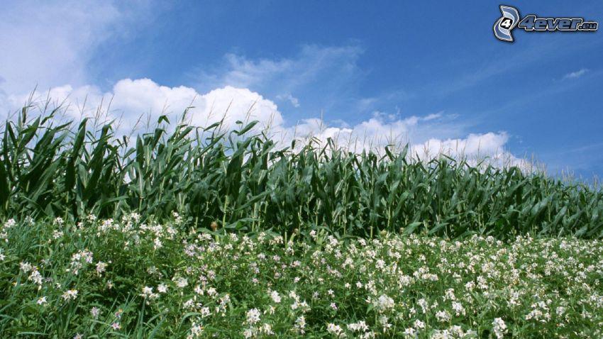 corn field, sky