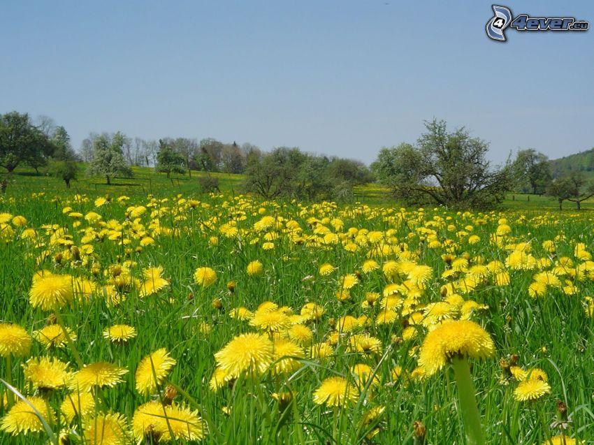 dandelion, meadow, trees
