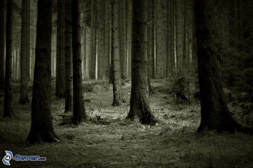dark forest, coniferous forest, sepia