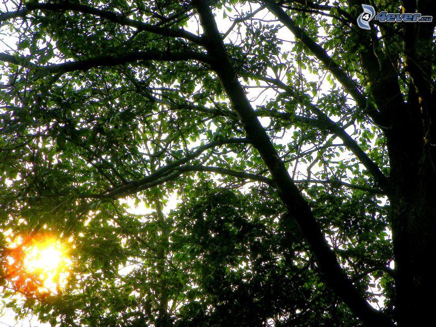 deciduous tree, sun
