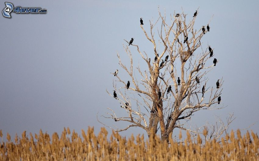 dried up trees, flock of crows, field