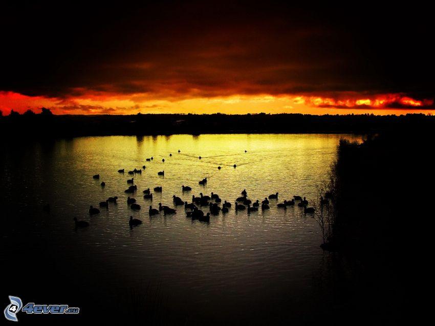 ducks on the lake, cloudy