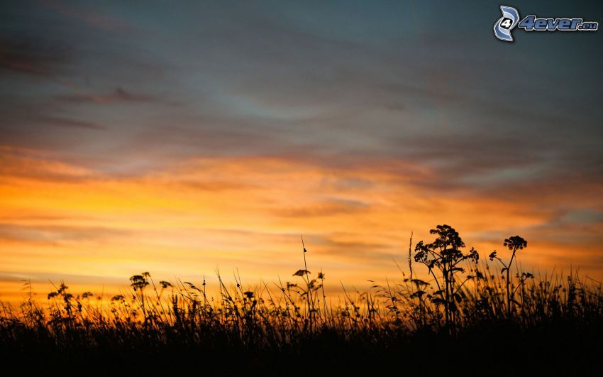 evening, plants, silhouette