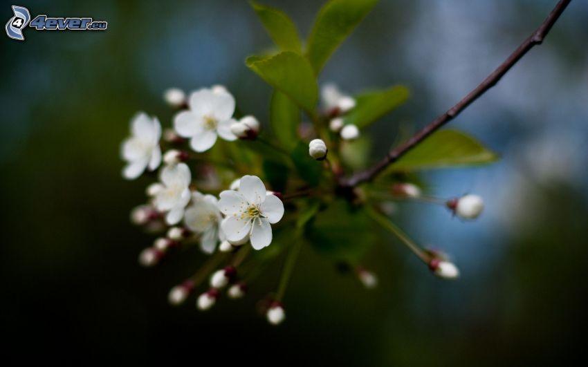 flowering cherry, flowering twig