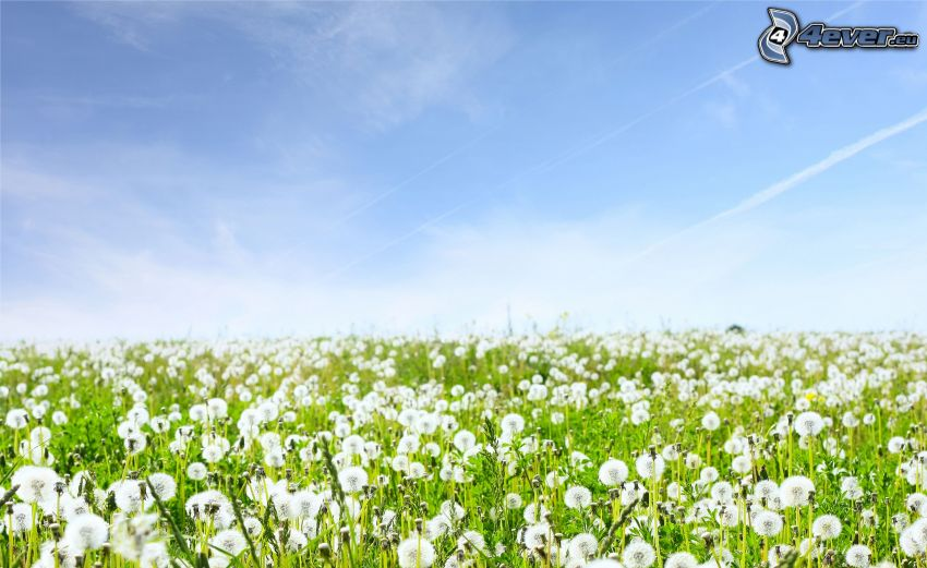 flowering dandelions, contrail