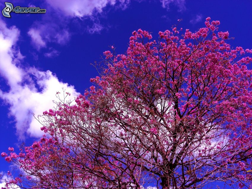 flowering tree, pink flowers, blue sky, cloud