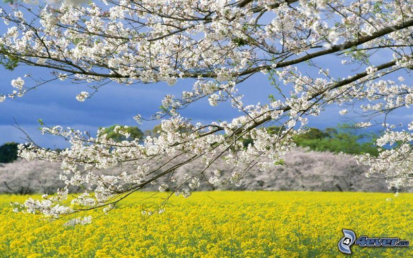 flowering tree, rapeseed