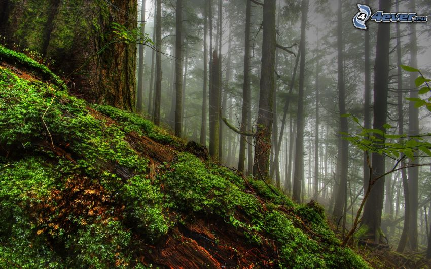 fog in forest, greenery, hill