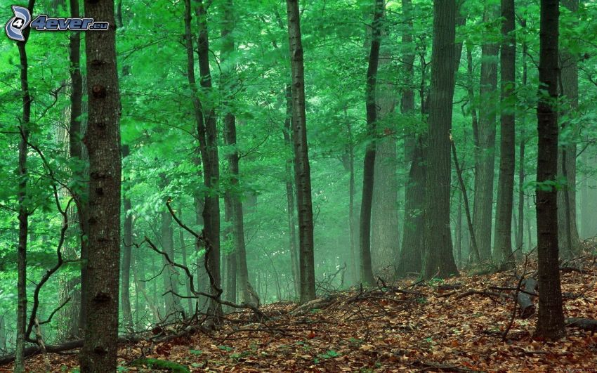 forest, autumn leaves, greenery