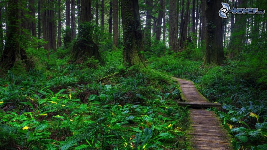 forest, greenery, trail through the forest