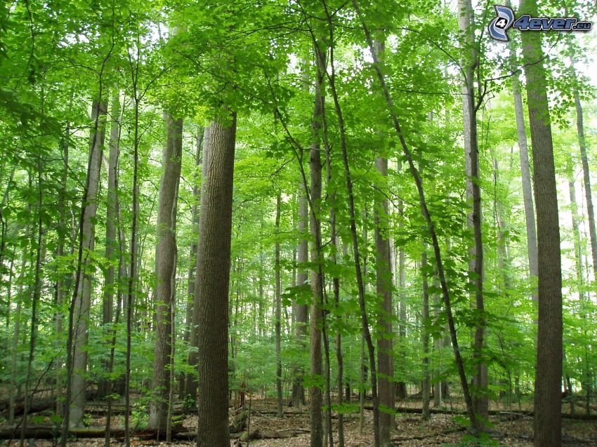 forest, greenery