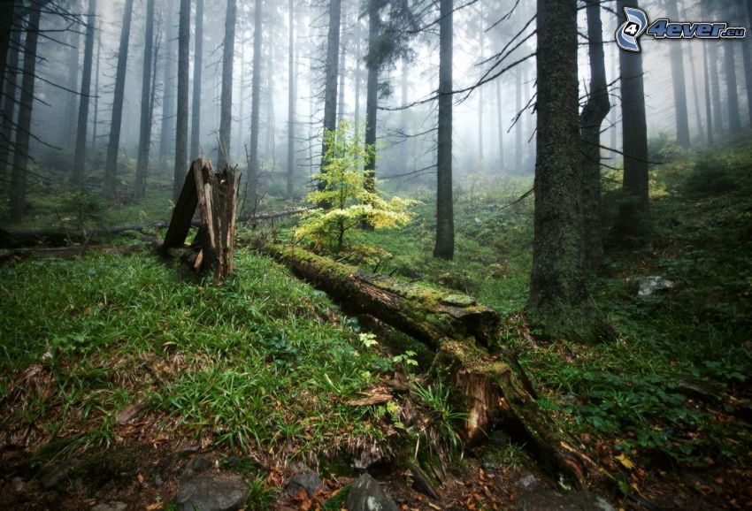 forest, stump, moss, grass, coniferous trees, fog